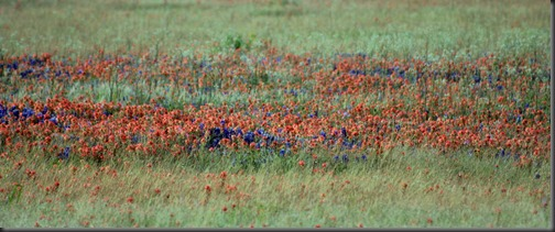 Blue bonnets and Indian Paintbrush2