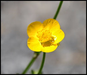 04 - Spring Wildflowers - Buttercup