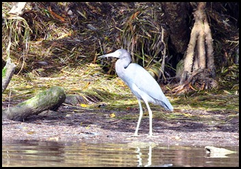 08a - Little Blue Heron