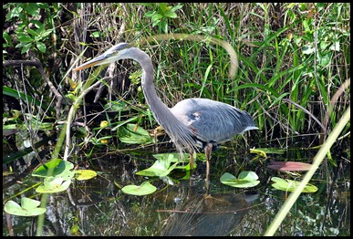 12c - Entrance Road - Great Blue Heron