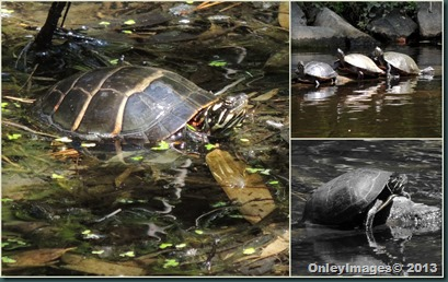 turtle collage1