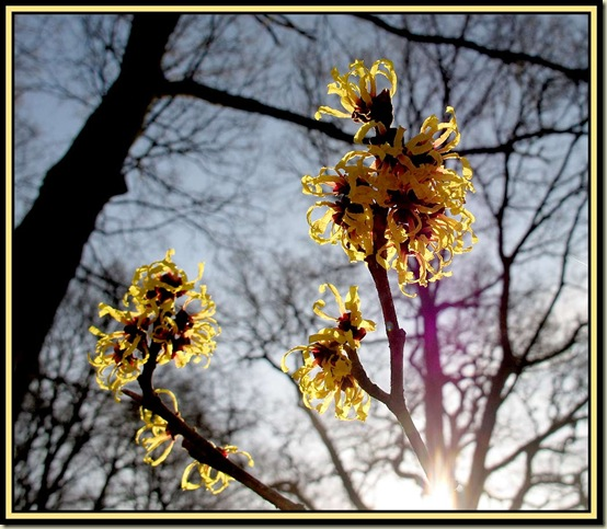 Witchhazel at Dunham Massey Winter Garden - 15/1/12