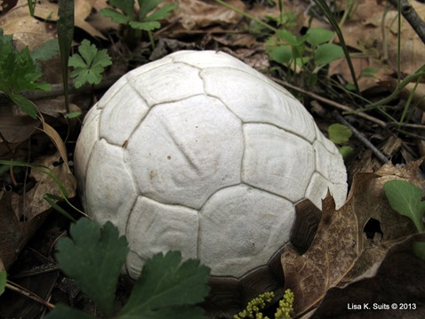 white shell closer
