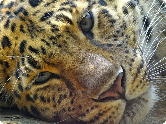 leopardo dell'amur2