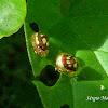 Crowned golden tortoise beetle