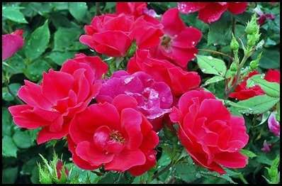 red-knockout-rose-mini