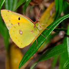 Clouded Yellow, Amarilla