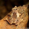Kandian shrub frog