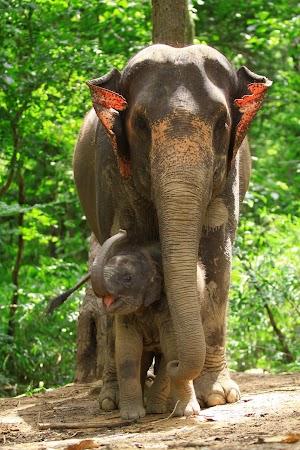 Imagini Thailanda: pui de elefant cu mama lui, Patara, Thailanda