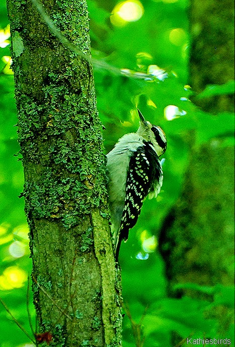 11. hairy woodpecker-kab