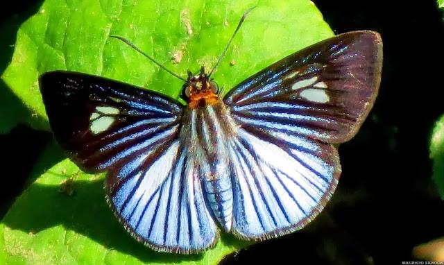 Pythonides lancea (HEWITSON, 1868). Environs de Curitiba (Paraná), 8 janvier 2014. Photo : Mauricio Skrock