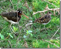 153 Greater Painted Snipe ( Male Female )