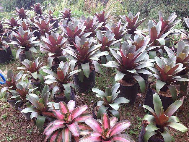 Tukang taman menjual tanaman bromelia besar giant