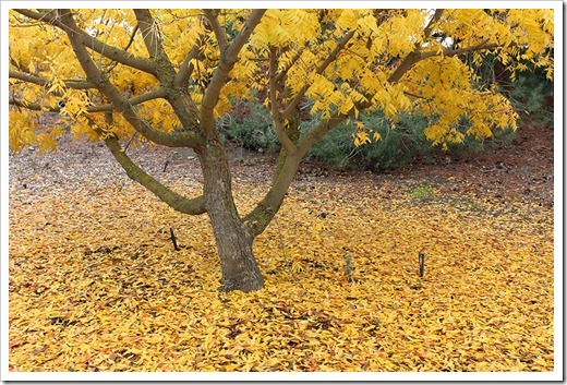 111127_yellow_tree