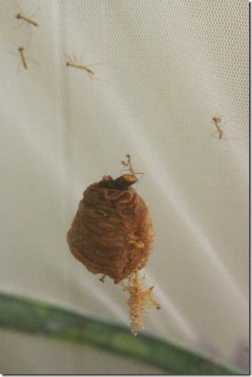 Homeschooling In The Rose Garden Our Mantis Egg Case Hatched