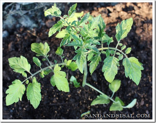 Growing Tomatoes organically with Whitney Farms
