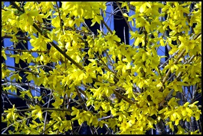 Forsythia_close-up