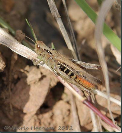 14-grasshopper