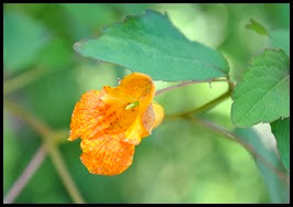 01f1 - Gorge Trail - wildflowers along the trail