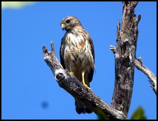 09c - Guy Bradley Path - Young Red Shoulder Hawk