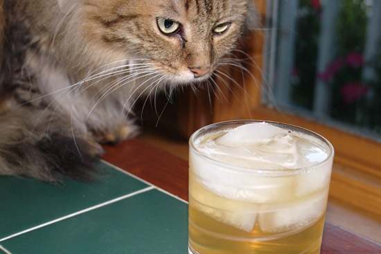 Cats Drinking Alcohol Wonders World Com