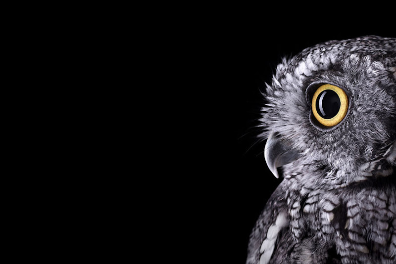 animal-photography-affinity-Brad-Wilson-western-screech-owl-2.jpeg