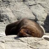 South Island - Kaikoura - a bigger seal