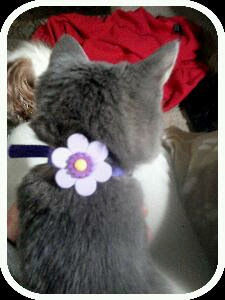 gray kitten with a purple collar with a flower