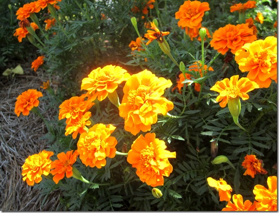 Growing Marigolds {Krafty Kat}