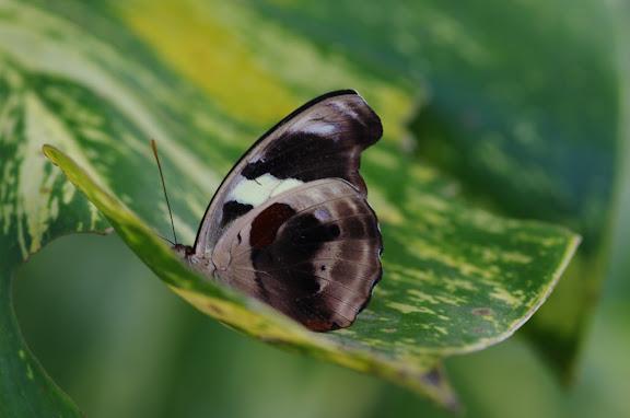Catonephele numilia penthia HEWITSON, 1852, femelle. Barra do Una (Sao Sebastiao, SP). 14 février 2012. Photo : J.-M. Gayman