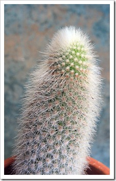 120704_Cleistocactus-straussii_02