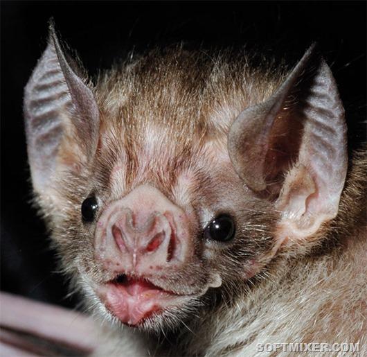 vampire_bat_fig1_600