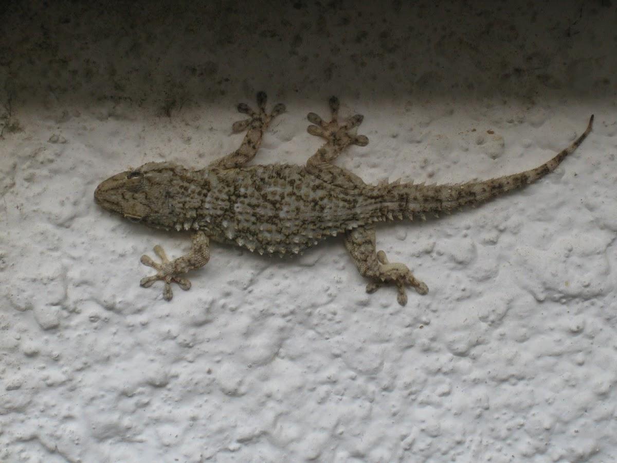 european common gecko; salamanquesa común