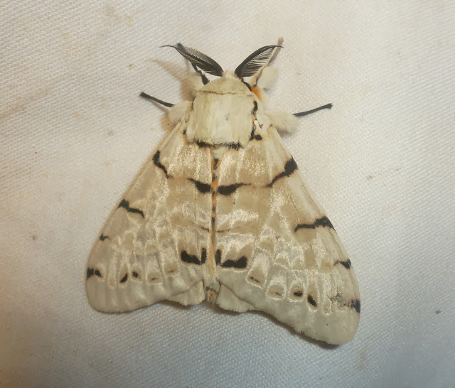 Lymantriidae : Lymantica velutina (MABILLE, 1879), endémique. Saha Forest Camp, Anjozorobe (Madagascar). 2 janvier 2014. Photo : T. Laugier