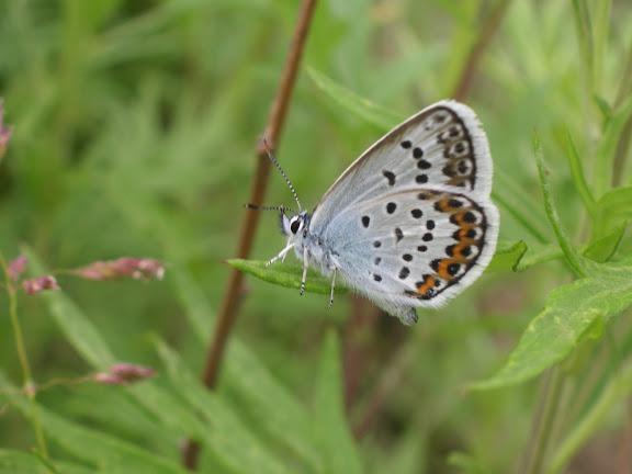 Plebeius argus coreanus TUTT, 1908. Près d'Andreevka (Primorskij Kraj, Russie), 8 juillet 2011. Photo : J. Michel