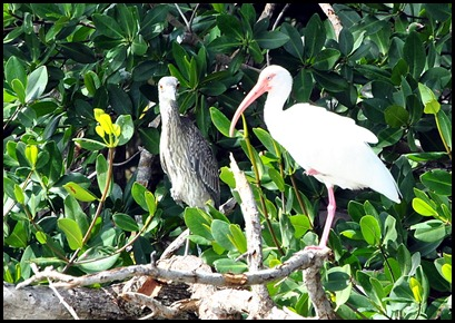 08b - Green Heron and White Ibis