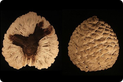 Petrified_Araucaria_cone_from_patagonia-Edit3