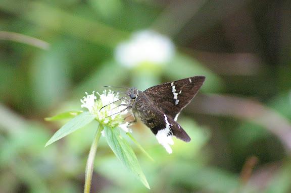 Hesperiidae : Urbanus chalco HÜBNER, 1823. Amazone Nature Lodge, Montagne de Kaw (Guyane). 18 novembre 2011. Photo : J.-M. Gayman