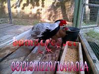 Jual Ayam Silver Pheasant