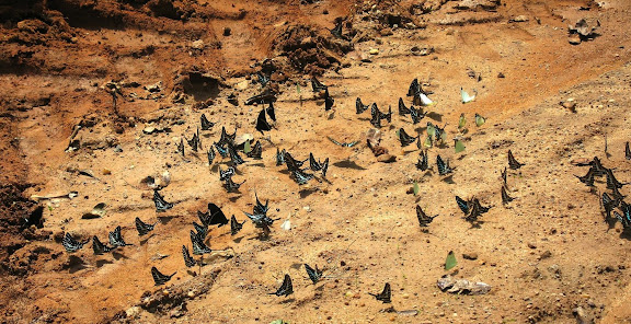Rassemblement de Pieridae (Nepheronia et Belenois sp.) et Papilionidae dont Papilio sosia ROTHSCHILD & JORDAN, 1903 et Graphium policenes CRAMER, 1775. Bobiri Forest (Ghana), 21 janvier 2006. Photo : J. F. Christensen