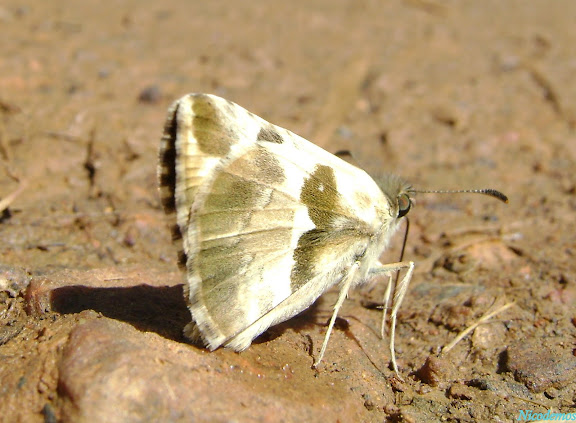 Hesperiidae : Heliopetes omrina (BUTLER, 1870). Pitangui (MG, Brésil), 14 mars 2010. Photo : Nicodemos Rosa