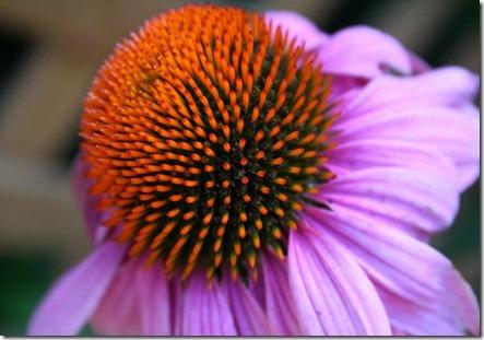 fibonacci-sequence-purple conflower