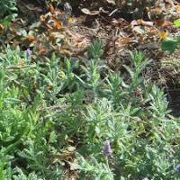 lavendel treks zich hieer niks aan van de seizoenen