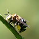青條花蜂 Amegilla calceifera