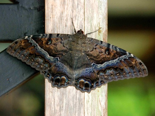 Black-Witch-Moth-Ascalapha-odorata