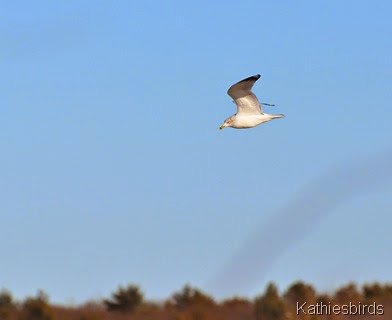 20. ring-billed gull-kab