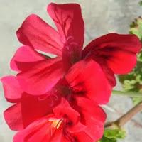 geranium. Ordinair in de vensterbank? nee. In de tuin, deel van de wintertooi.