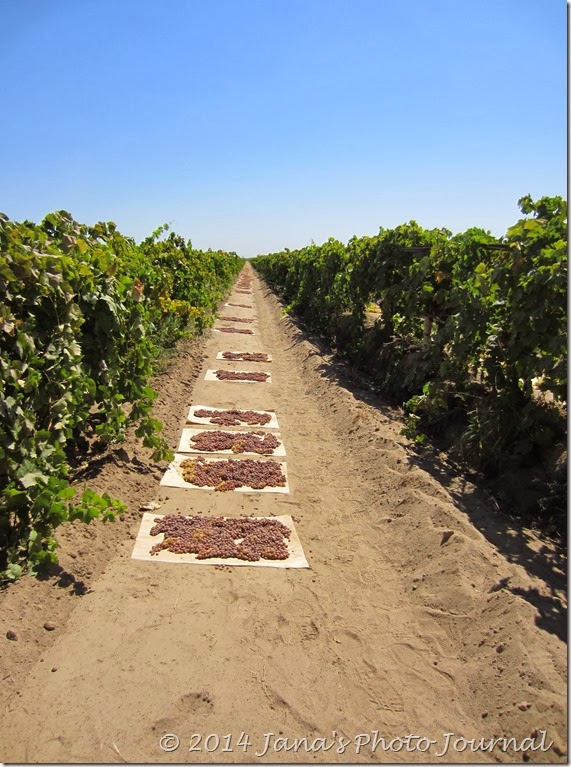 Grapes Drying in the Sun
