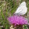 leuzea uniflora with Black-veined White