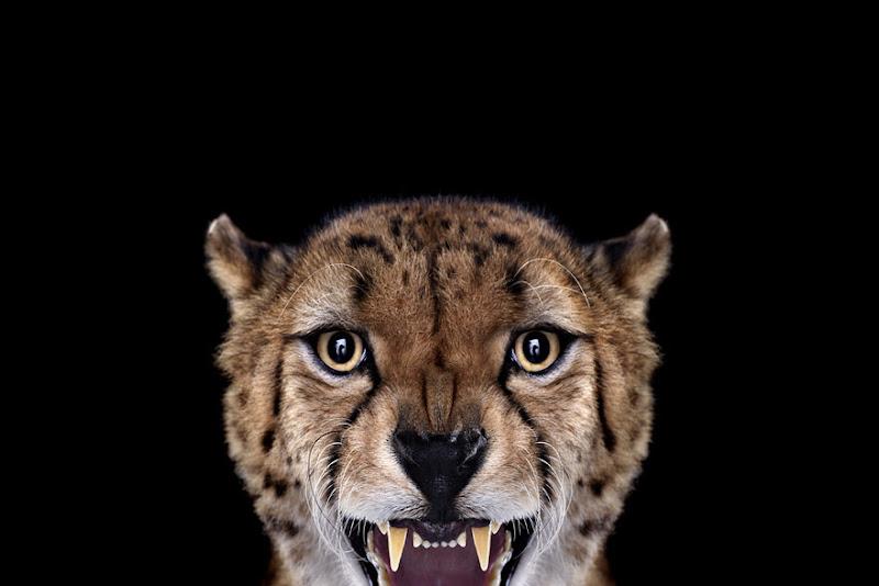 animal-photography-affinity-Brad-Wilson-cheetah-2.jpeg